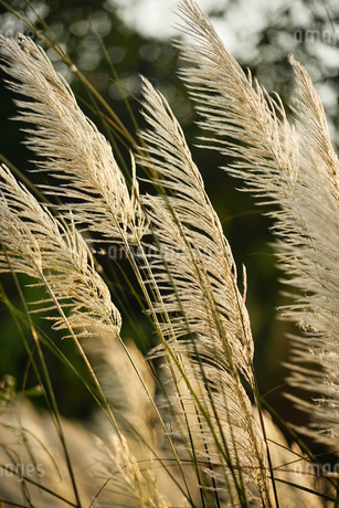 Silver grass in the Hsinchu at the sunsetの写真素材 [FYI02709580]