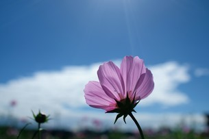 Close-up shot of pink daisy;Taiwanの写真素材 [FYI02709586]