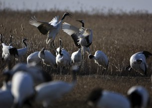 Yancheng, Jiangsu: Red-crowned Cranes in the Morningの写真素材 [FYI02709648]