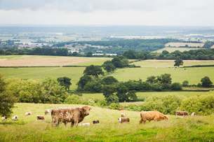 Herd of English Longhorn and Highland cattle in a pasture.の写真素材 [FYI02709798]