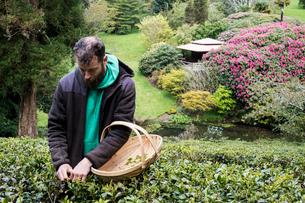 Man holding basket standing outdoors in tea plantation, carefully picking tea leaves.の写真素材 [FYI02709813]