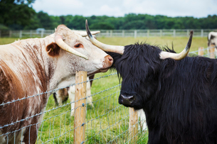 English Longhorn and Highland cattle in a pastureの写真素材 [FYI02709900]
