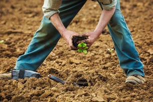 A man bending over, planting a small plant in the soil.の写真素材 [FYI02709920]