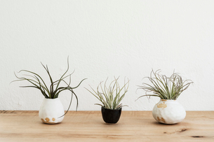 Close up of three varieties of air plants in terracotta pots on a wooden shelf.の写真素材 [FYI02709949]