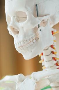 closeup of anatomical modelの写真素材 [FYI02710010]