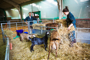 Man and woman in a stable with goats, scattering straw on the floor.の写真素材 [FYI02710029]