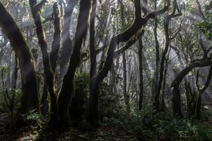 Cloud forest, laurel forest, Garajonay National Parkの写真素材 [FYI02710090]