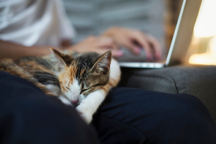 Close up of calico cat with white, black and brown fur lying on persons lap.の写真素材 [FYI02710556]