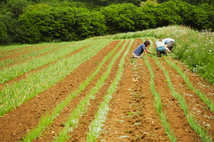 Three men tending rows of small plants in a field.の写真素材 [FYI02710584]