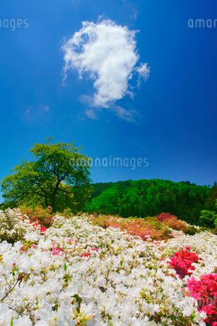 ツツジと女神岳と新緑の木立の写真素材 [FYI02713802]