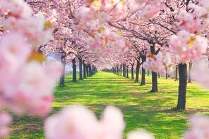 八重桜の桜並木の写真素材 [FYI02715275]