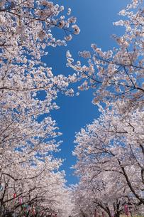 宮野運動公園の桜並木の写真素材 [FYI02717874]