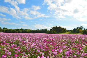 東山ふれあい農業公園のコスモス畑の写真素材 [FYI02719561]