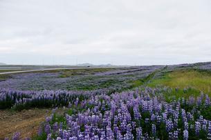 ルーピンの咲く草原の写真素材 [FYI02719744]