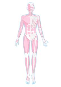 半分だけ骨格が見えている人体の筋肉イラストのイラスト素材 [FYI02720992]