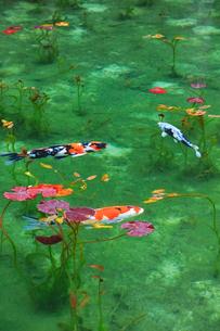 モネが描いた絵のような池の写真素材 [FYI02722077]