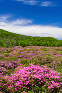 ミヤマキリシマ咲く鹿の原の写真素材 [FYI02722182]