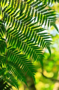 奄美大島 金作原原生林のヒカゲヘゴの写真素材 [FYI02722452]