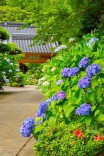 北浦の紫陽花寺の写真素材 [FYI02723325]