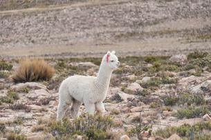 アンデス高原のアルパカの写真素材 [FYI02723384]