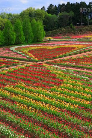 世羅高原農場のチューリップの写真素材 [FYI02723531]