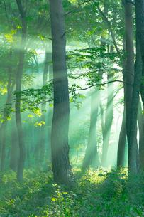 朝日がさし込む霧の森の写真素材 [FYI02723534]