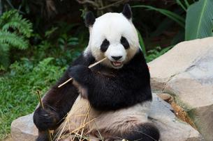 パンダの写真素材 [FYI02723697]