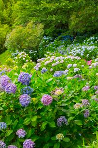北浦の紫陽花寺の写真素材 [FYI02723959]