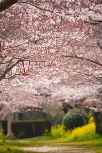錦川沿いの桜並木の写真素材 [FYI02724886]