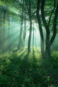 朝日がさし込む霧の森の写真素材 [FYI02725781]