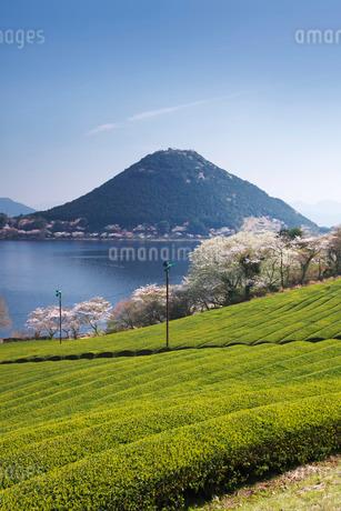 藺牟田池と茶畑と桜と飯盛山の写真素材 [FYI02725852]