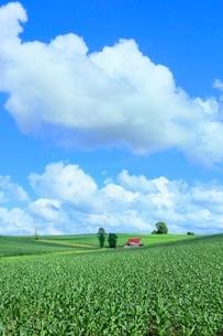 美瑛 赤い屋根の家とトウモロコシ畑の写真素材 [FYI02732012]