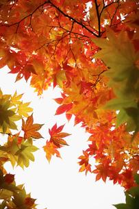 紅葉の写真素材 [FYI02732109]