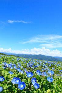 アサガオ(ヘブンリーブルー) の花畑の写真素材 [FYI02732110]
