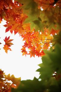 紅葉の写真素材 [FYI02732535]