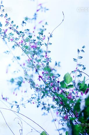 曇り空を背景にした夏花木の写真素材 [FYI02738048]