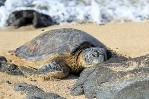 ハワイ島のウミガメの写真素材 [FYI02738124]