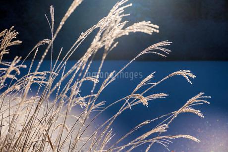 朝の光を浴びるススキの写真素材 [FYI02738282]