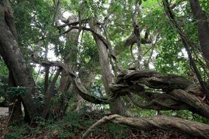 田中神社のオカフジの写真素材 [FYI02738323]