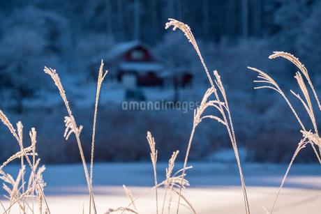朝の光を浴びる中牧湖のススキの写真素材 [FYI02738431]