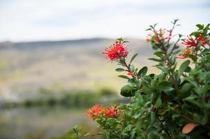 パタゴニアの花:ノトロの写真素材 [FYI02738530]