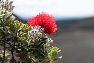 ハワイ火山国立公園に咲くオヒアレフアの写真素材 [FYI02738568]