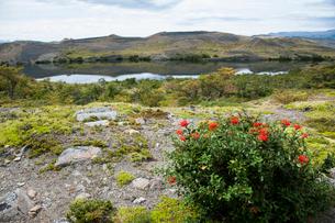 パタゴニアの花:ノトロの写真素材 [FYI02738610]