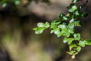 パタゴニアの南極ブナ:レンガの葉の写真素材 [FYI02738658]