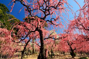3月 しだれ梅の結城神社の写真素材 [FYI02738848]