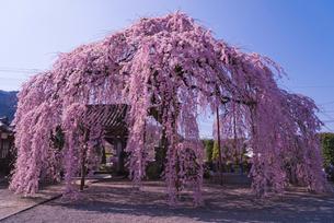 天真山周林禅寺の樹齢約120年の雪洞(ぼんぼり)桜の写真素材 [FYI02738905]