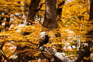 パタゴニアの鳥:カランチョの求愛ポーズの写真素材 [FYI02739058]