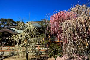 3月 しだれ梅の結城神社の写真素材 [FYI02739125]
