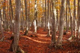 10月 安比高原の紅葉のブナ二次林の写真素材 [FYI02739179]