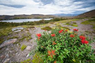 パタゴニアの植物:ノトロの花の写真素材 [FYI02739209]